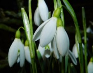 snowdrops-at-hodsock-priory-in-north-notts.jpg