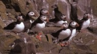 BBC - Puffins ©Darin Smith with credit.jpg