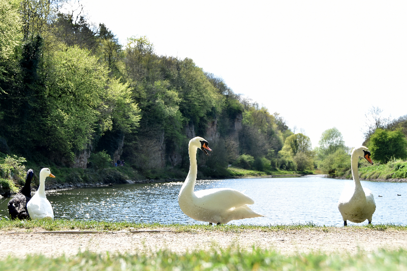 creswell crags swans