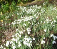 snowdrops-at-bolham.jpg