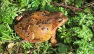 BBC - Frog at Colwick Woods ©Chris Golightly.jpg