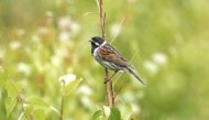 BBC - Reed Bunting (Male) ©John Smith.jpg