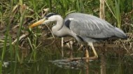 BBC - Grey Heron at Attenborough Nature Reserve ©Sean Browne.jpg