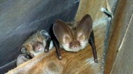 BBC - Brown Long-Eared Bat.jpg
