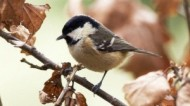 BBC - Coal Tit in Autumn ©Mike Vickers.jpg