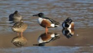 BBC - Shoveler Group ©Mike Vickers.jpg