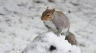 BBC - Grey Squirrel ©Paul Freshney.jpg