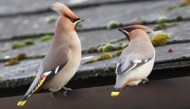 BBC - Waxwings ©Margaret Holland.jpg