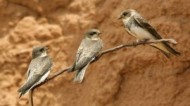 BBC - Sand Martins at Besthorpe ©John Smith.jpg