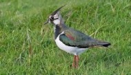 BBC - Lapwing ©John Smith.jpg