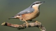BBC - Nuthatch ©Margaret Holland.jpg