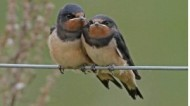 BBC - Swallows ©Margaret Holland.jpg