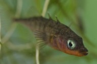 3 Spined Stickleback ©Jack Perks.jpg