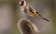 BBC - Goldfinch on Teasel ©Mike Vickers.jpg