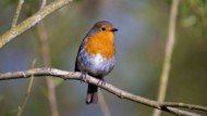 BBC - Robin at Attenborough Nature Reserve ©Rob Pettifer.jpg