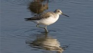 BBC - Greenshank  ©Mike Vickers.jpg