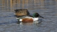 BBC - Shoveler Pair ©Mike Vickers.jpg