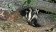 BBC - Badger cpt Darin Smith.jpg