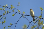 Willow Warbler ©Chris Gomersall 2020 Vision.jpg