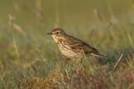 Meadow pipit (Anthus pratensis) WildNet Mark Hamblin2020VISION.jpg