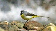 BBC - Grey Wagtail ©John Smith.jpg