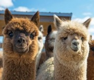 Alpaca meet and greet event.jpg
