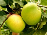 bramley apples.jpg